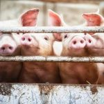 Chinese researchers warn of new virus in pigs with human pandemic risk