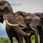 Zimbabwe suspects elephants died from bacterial infection