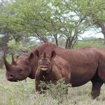Rhino poaching in Namibia down 63% on tougher policing, penalties