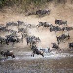 Kenya's famed wildebeest migration begins without foreign tourist crowds