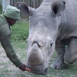Scientists harvest more eggs from near-extinct northern white rhino