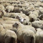 S.African court allows sheep exports to Middle East, rejects cruelty concerns