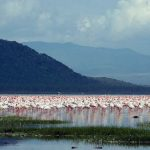 Long-missed pink flamingos return to Kenya's Lake Nakuru
