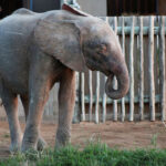 South African albino elephant beats odds to thrive among herd