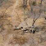 Botswana investigates 11 new elephant deaths