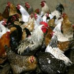 World's first case of human infection with bird flu