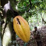 Child labour rising in West Africa cocoa farms despite efforts - report
