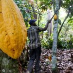 EU envisages 1 bln euros aid to Ivory Coast to meet sustainable cocoa laws