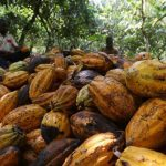 Ivory Coast cocoa exporters curb exposure and inventories amid glut