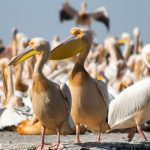 Hundreds of pelicans found dead in Senegal World Heritage site