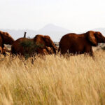 Kenya starts its first national wildlife census