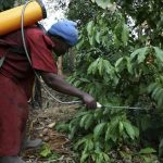 Beetles threaten Ugandan coffee crop