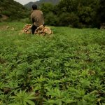 Morocco to legalise cannabis for medical use