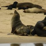 More than 7,000 dead seals found along Namibian beach - conservation group