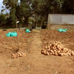 Why a new potato variety could be a game-changer for farmers in East Africa