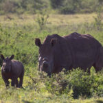 Rhino poachers are back in South Africa
