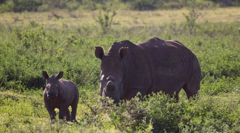 Rhinos graze in the Pongola Nature Reserve