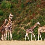 Conservationists trying to save Kenyan giraffes stranded on flooding island