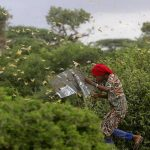 Fresh wave of crop-ravaging locust swarms threaten E. African herders, farmers